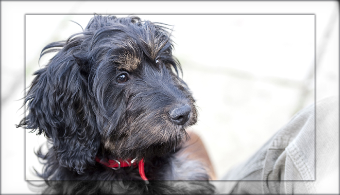 cockapoo-essex_001