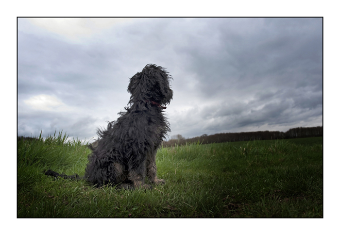 cockapoo-essex_002