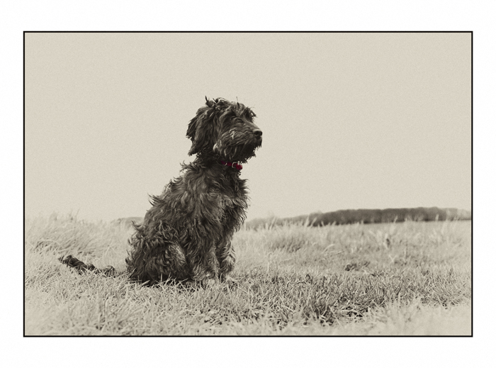 cockapoo-essex_004