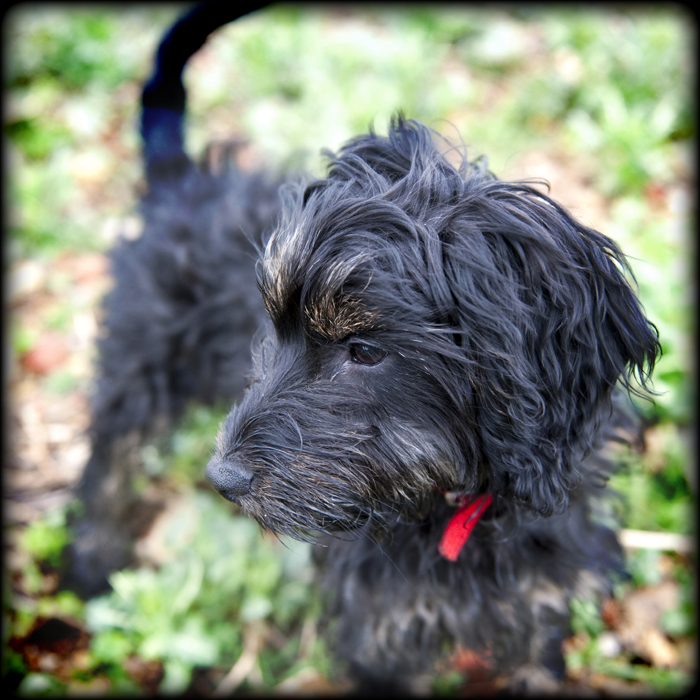 cockapoo-essex_005