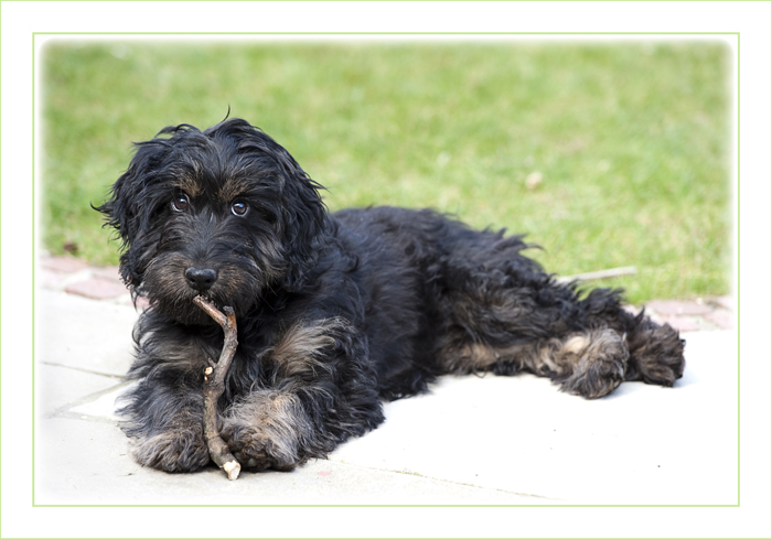 cockapoo-essex_006