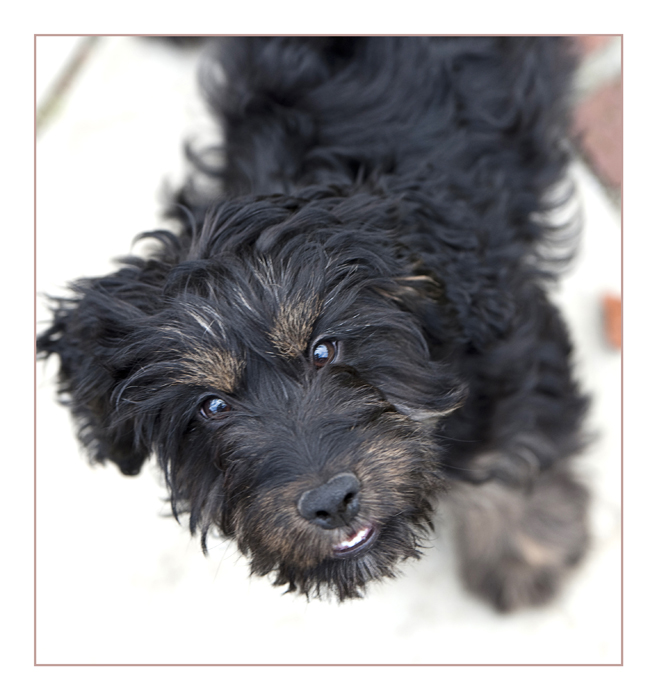 cockapoo-essex_007