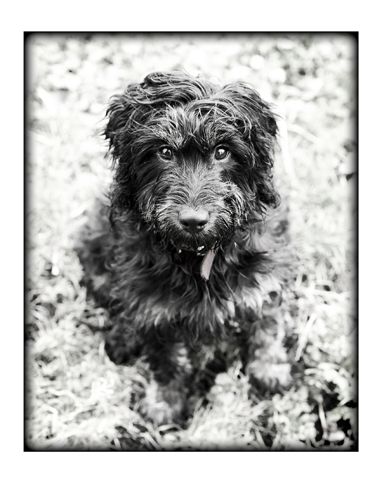 cockapoo-essex_008