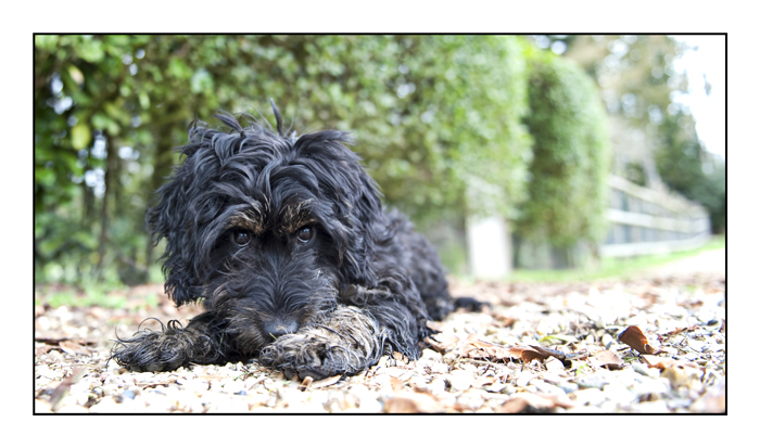 cockapoo-essex_010