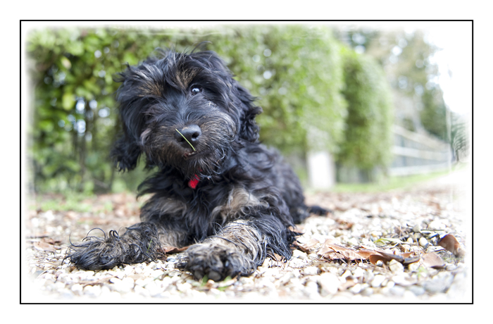 cockapoo-essex_011