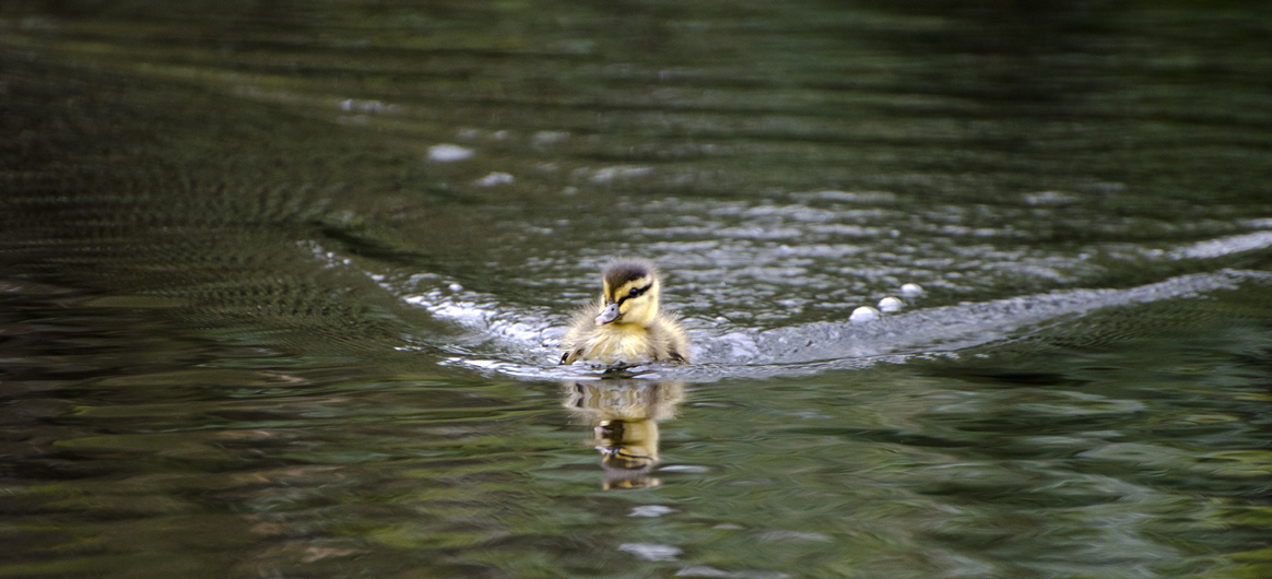 very cute duckling