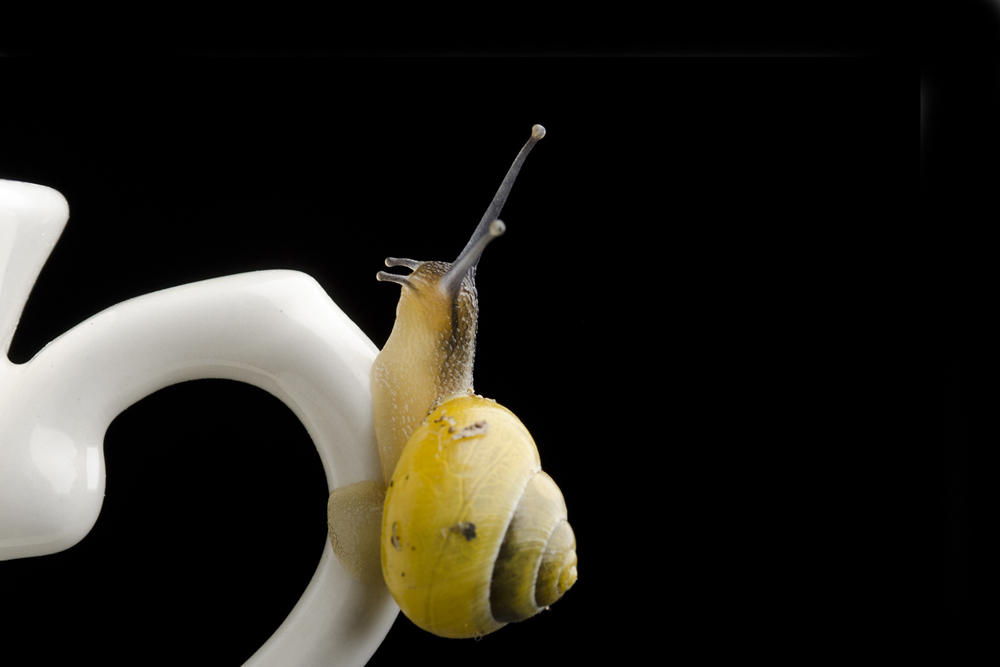 Yellow banded snail_Tony Sale Photography
