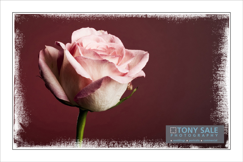 A beautiful rose by Essex photographer Tony Sale