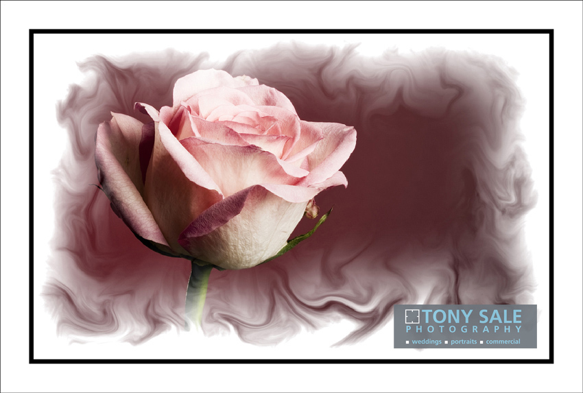 A beautiful rose by Essex wedding photographer Tony Sale