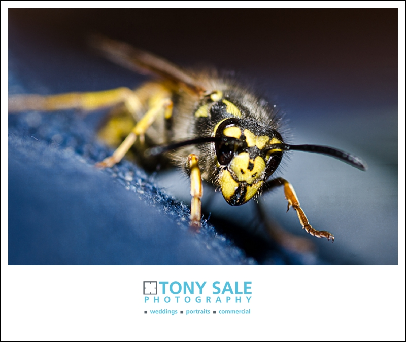 Yellow jacket wasp climbing a pair of denim jeans
