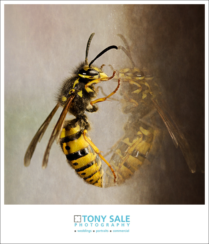 Yellow Jacket Wasp - insect or art?