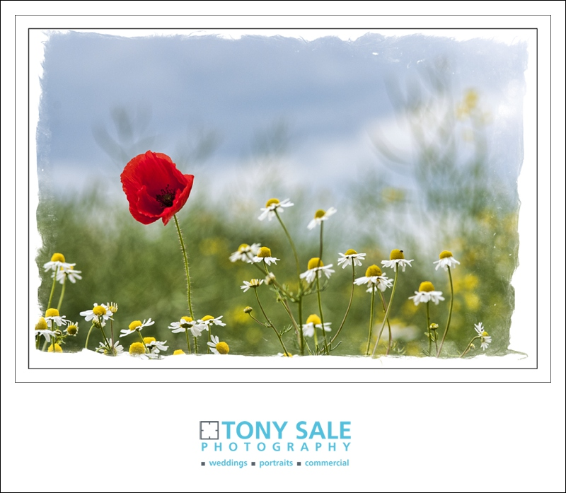 A single red poppy in a field of daisies