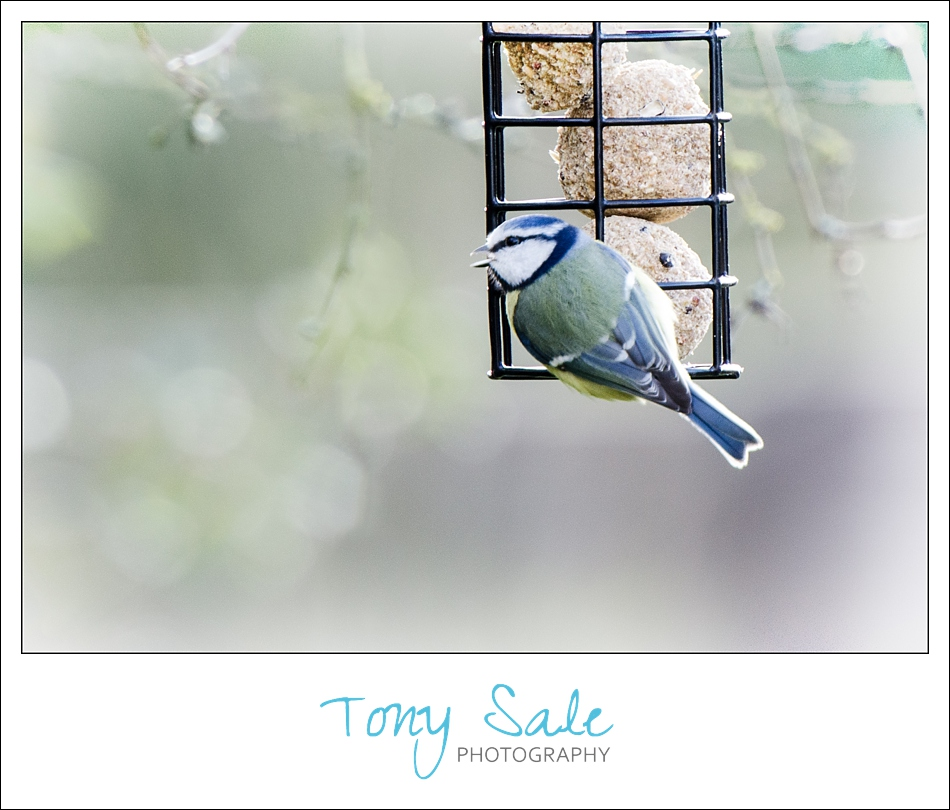 Tony Sale Photography_Garden Birds_01