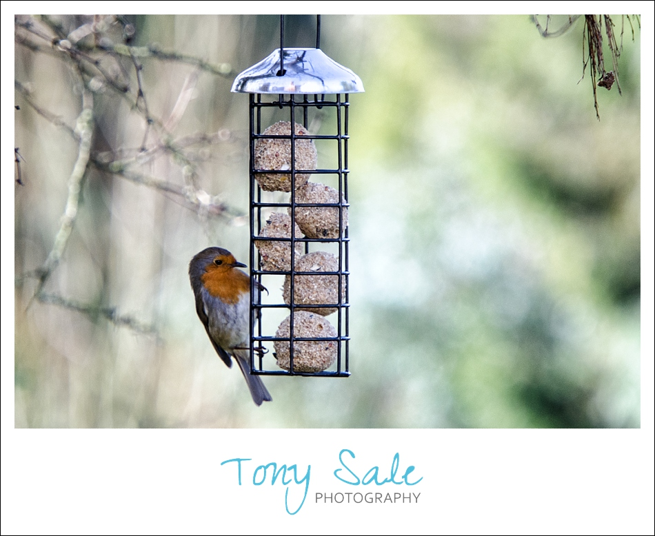 Tony Sale Photography_Garden Birds_Robin