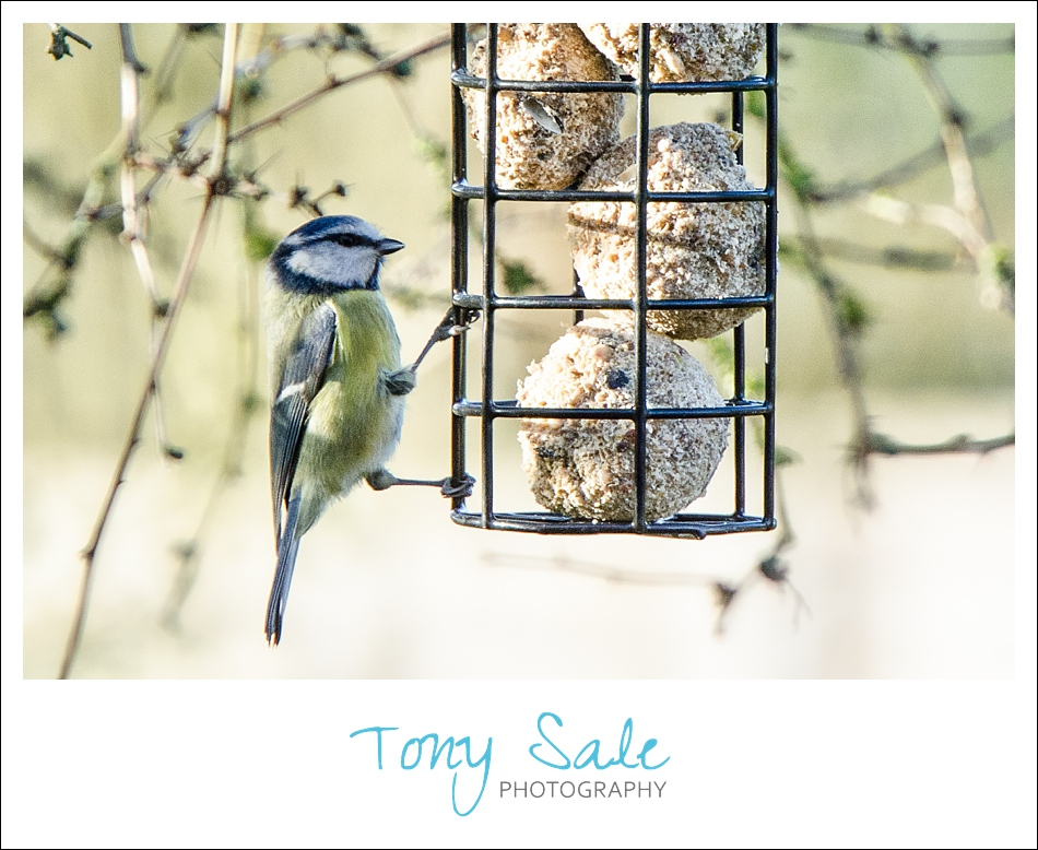 Tony Sale Photography_Garden Birds_05