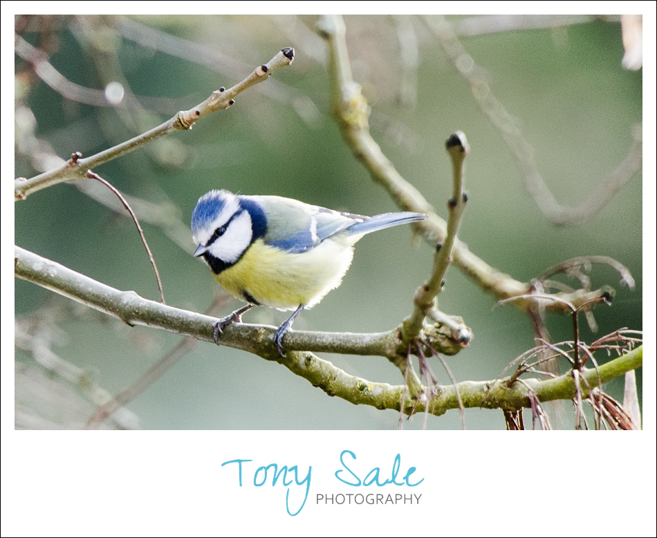 Tony Sale Photography_Garden Birds_Blue Tit