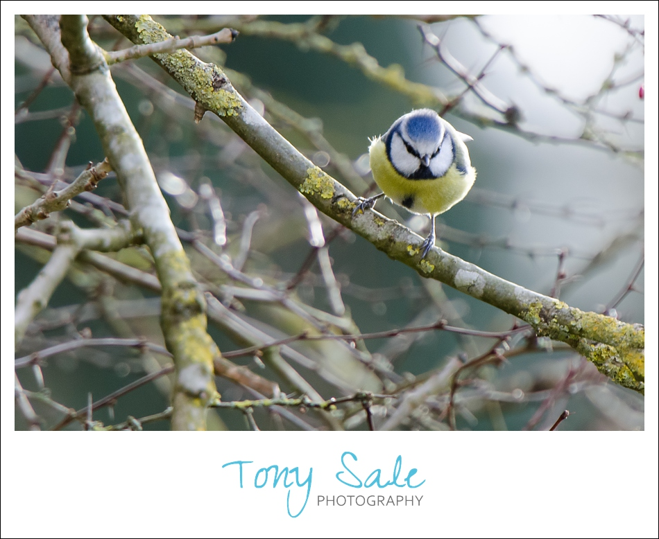 Tony Sale Photography_Garden Birds_07