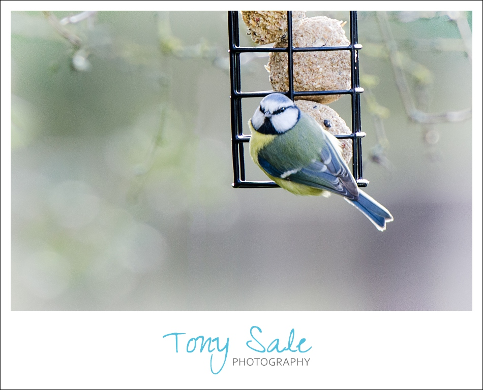 Tony Sale Photography_Garden Birds_08