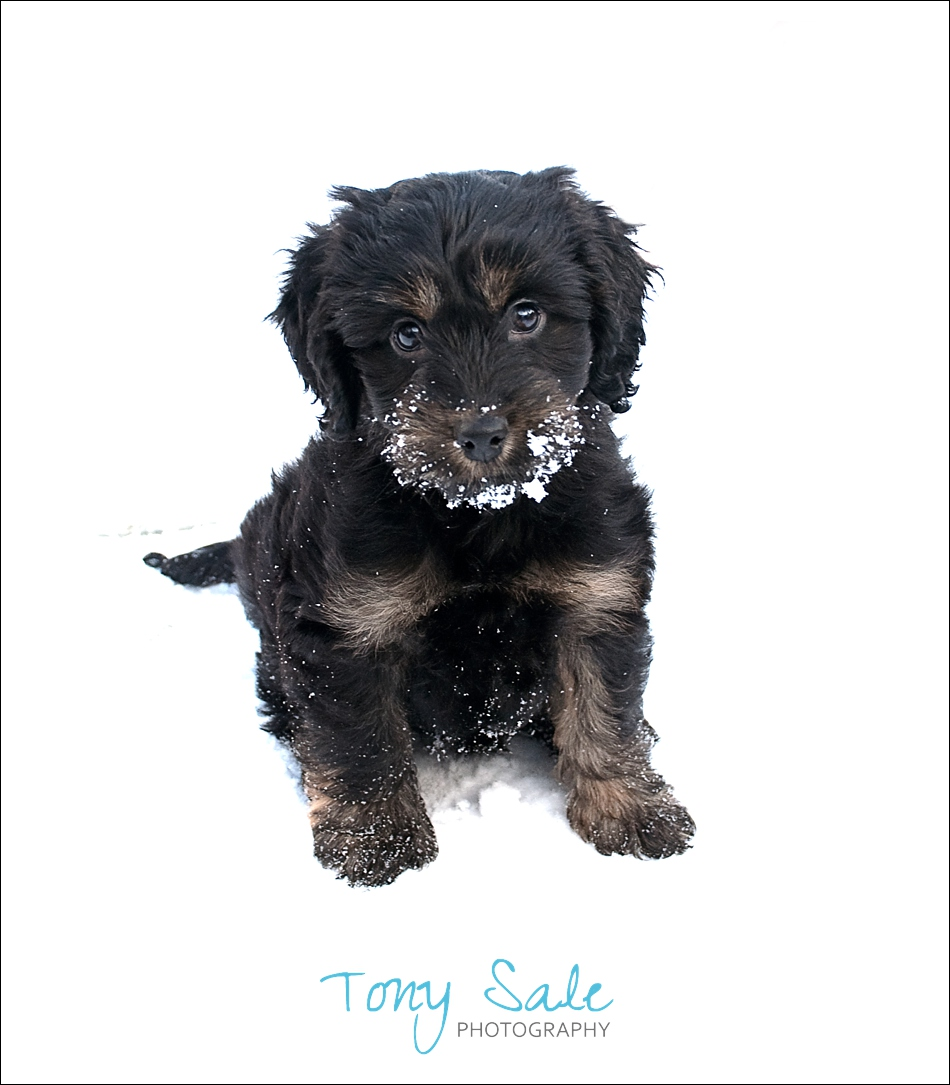 Black and tan Cockapoo in the snow_02