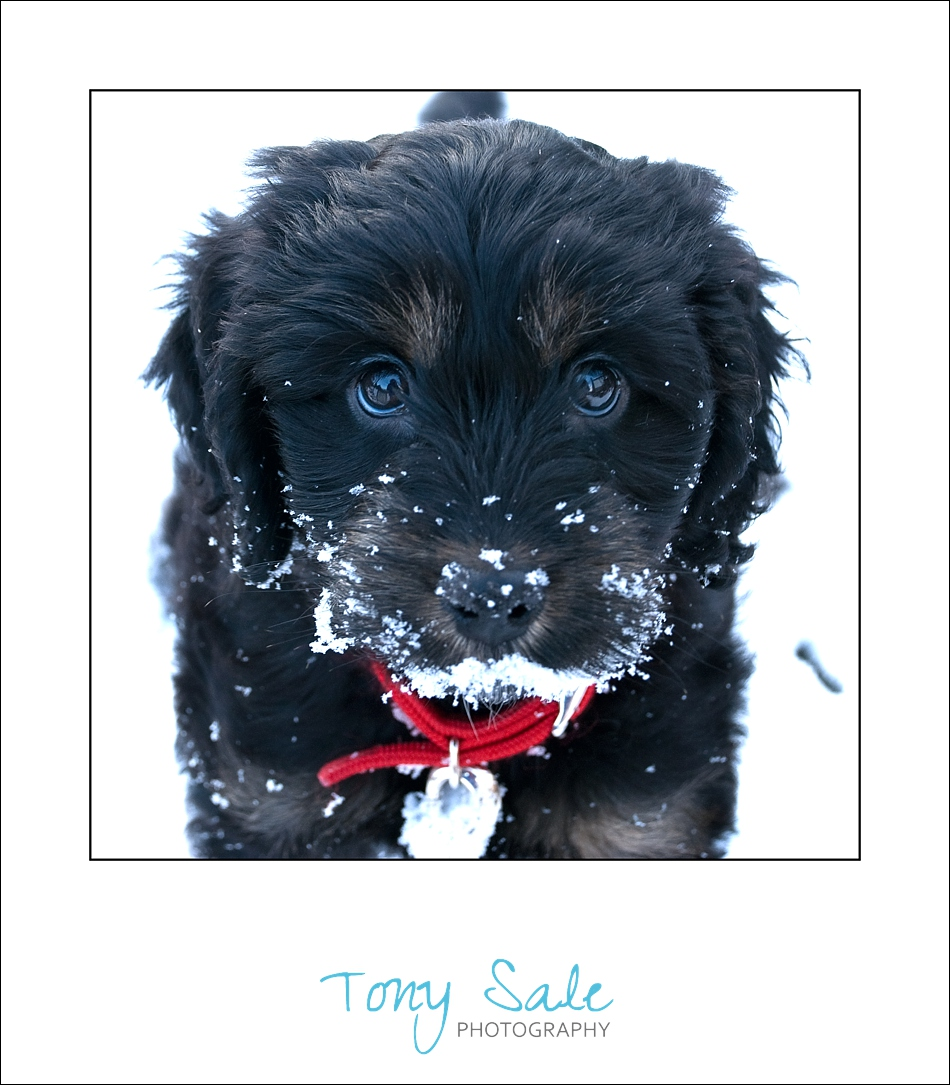 Black and tan Cockapoo in the snow_03