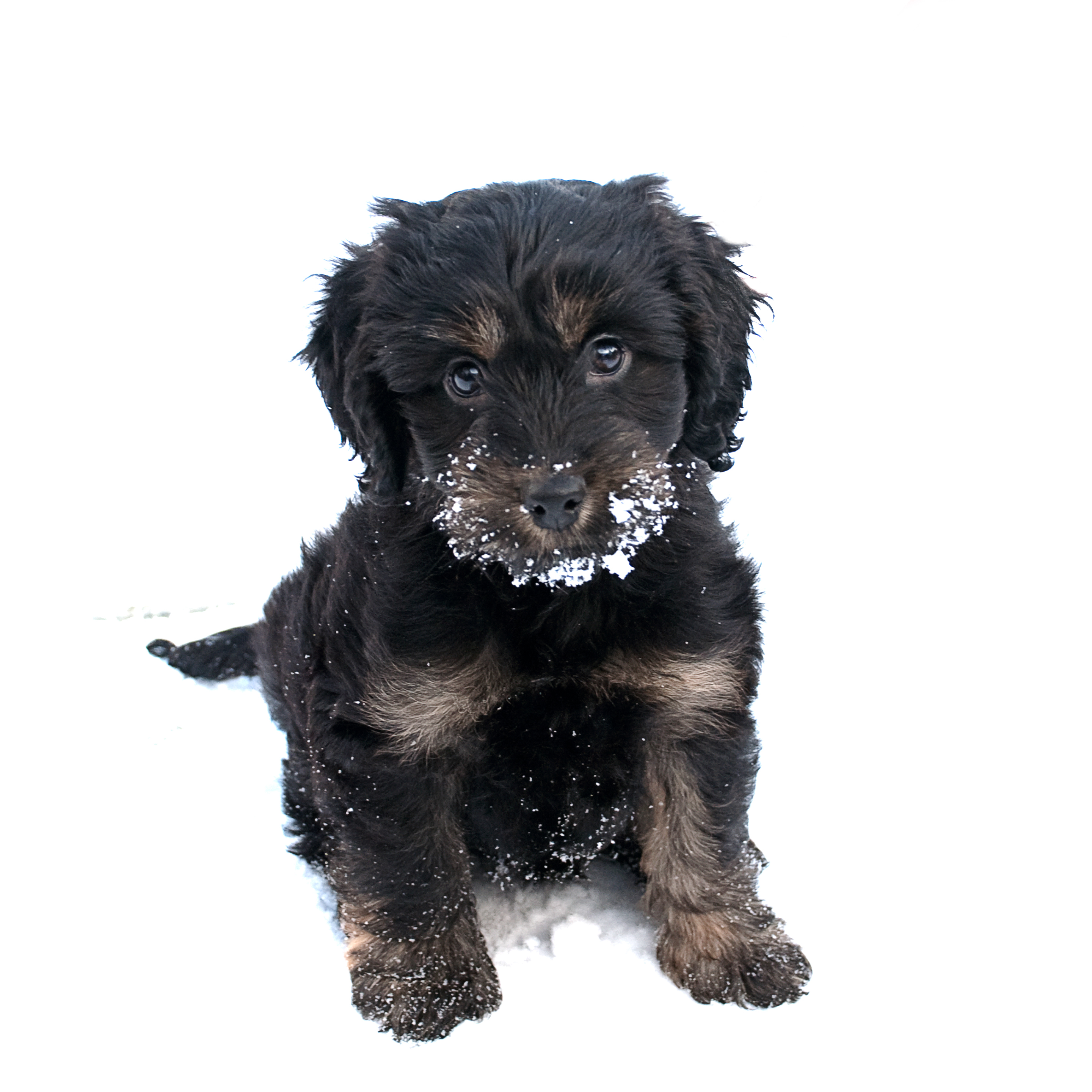 Bo in the snow (A Cockapoo's first winter)