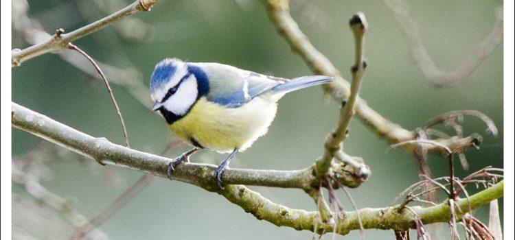 Garden Birds in North Essex